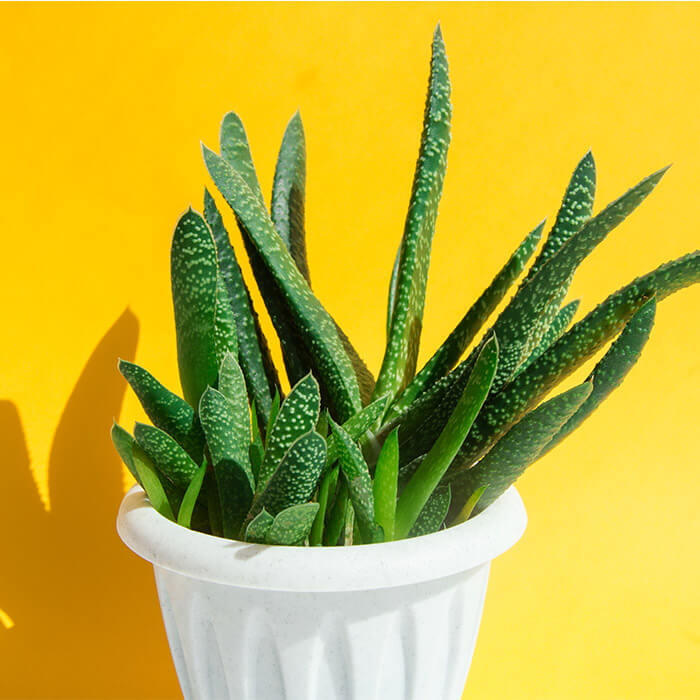 Aloe vera plant in white pot against yellow background